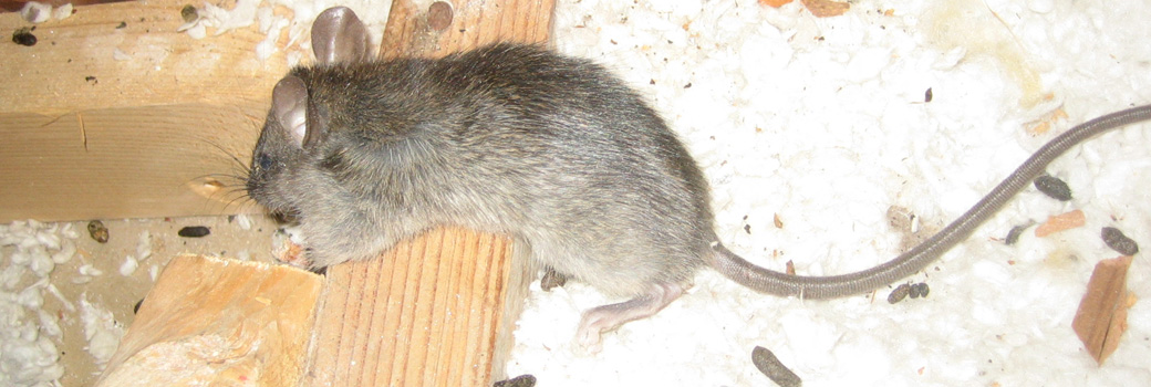 how to keep rats and mice away from your house